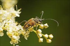 Gefleckter Blütenbock (Pachytodes cerambyciformis
