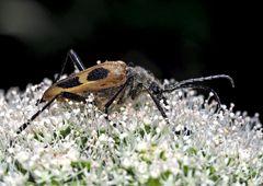 Gefleckter Blütenbock (Pachytodes cerambyciformis) - Judolia