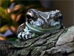 Gefleckter Krötenlaubfrosch (2)