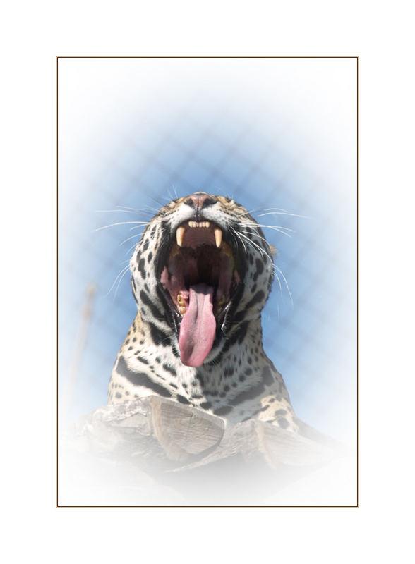 Gefleckter Panther
