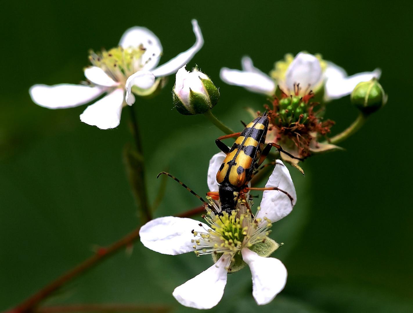 Gefleckter Schmalbock (Leptura Maculata)