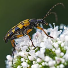 Gefleckter Schmalbock (Strangalia maculata)