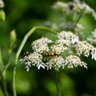 gefleckter Schmalbock und Fliege