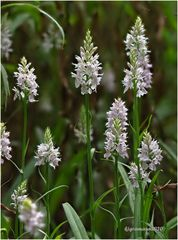 geflecktes knabenkraut (dactylorhiza maculata) ....