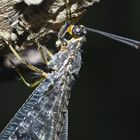 Geflecktflüglige Ameisenjungfer (Euroleon nostras), 2. Foto. - Détail d'un Fourmilion.