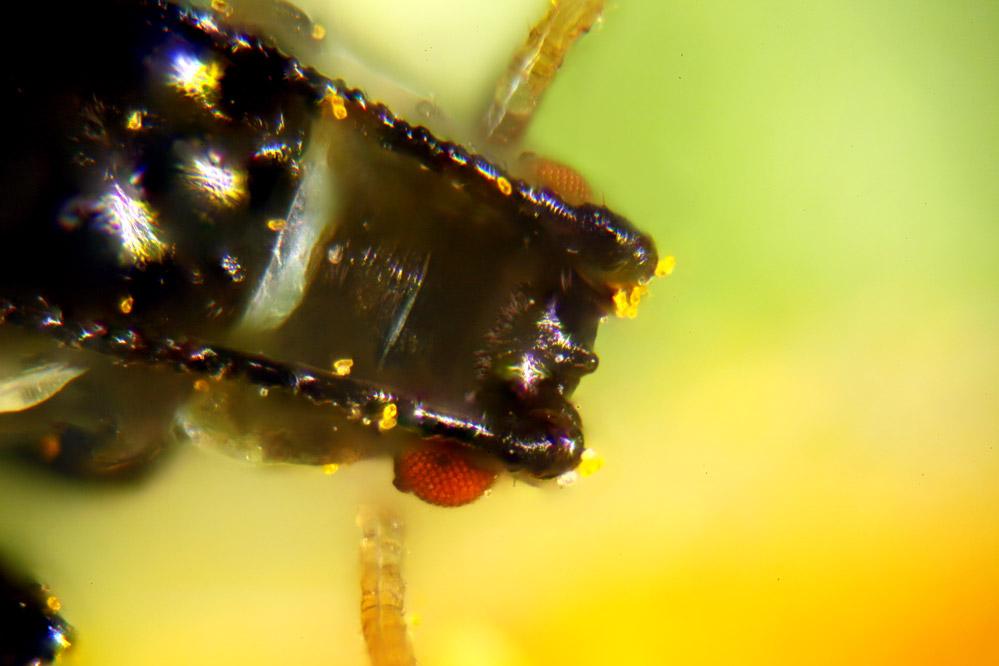 geflügelte, lebende schwarze Blattlaus - Mikroskopaufnahme