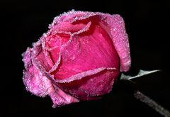 Gefrorene Pink Lady
