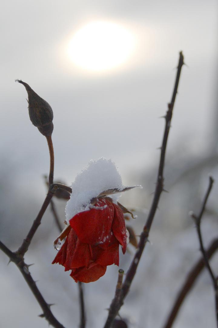 gefrorene Rosen im Schnee