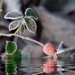 ... gefrostete Hagebutte...