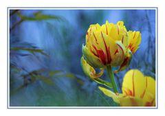 gefüllte Tulpe an Blattwerk