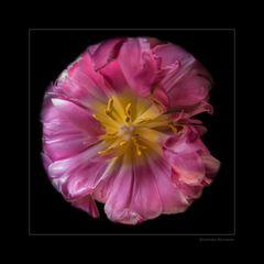 gefüllte Tulpenblüte