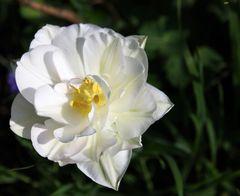 gefüllte weiße Tulpe