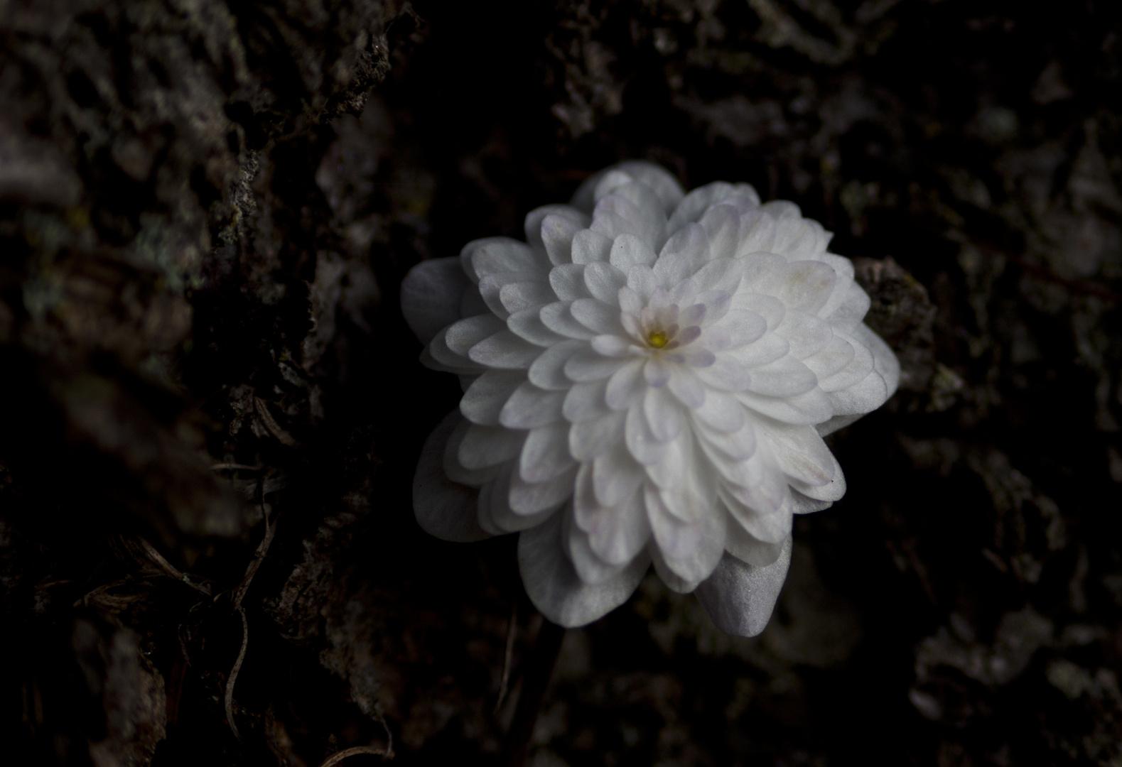 gefülltes Leberblümchen