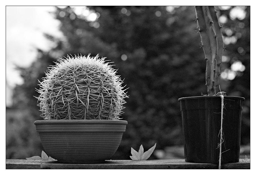 Gegenlichtstudie eines Kaktus