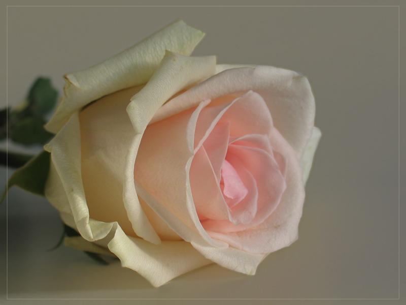 Geh die Rosen wieder anschauen
