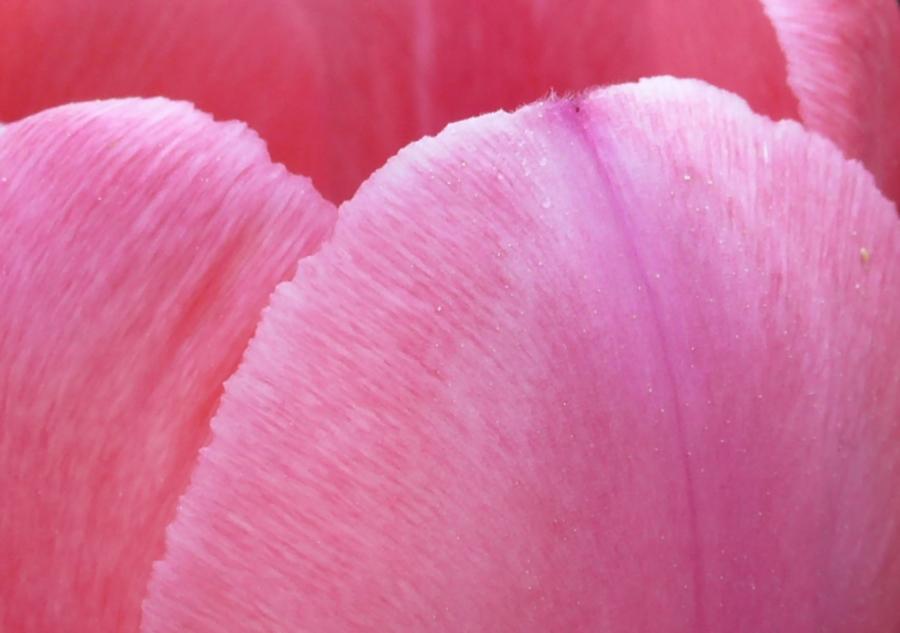 ~ geheimnis einer tulpe ~