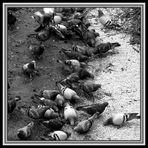 Geh'n ma Tauben vergiften im Park