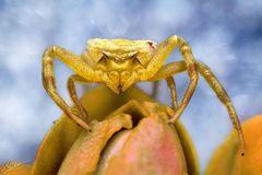 Gehöckerte Krabbenspinne (Weibchen)