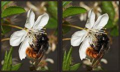 Gehörnte Mauerbiene [3D]