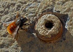Gehörnte Mauerbiene (Osmia cornuta) -- L'Osmie cornue.