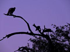 Geier und Nimmersatt auf ihrem Schlafbaum