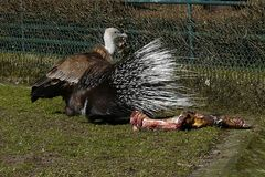 Geier und Stachelschwein - ein seltsames Paar