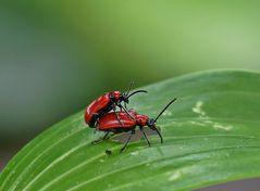 Geile Käfer