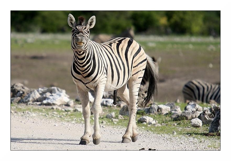 Geiles Zebra