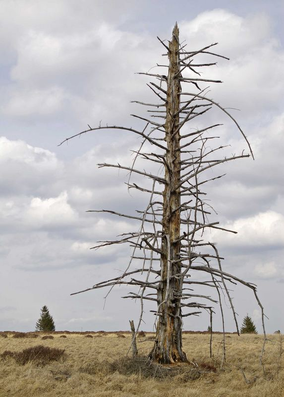Geisterbaum im Venn