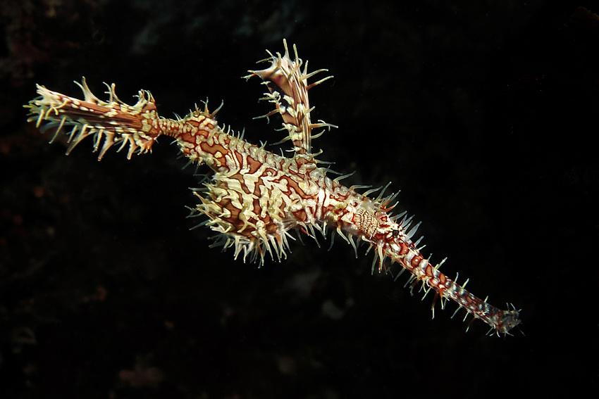 Geisterfetzenfisch
