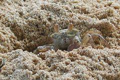 Geisterkrabbe Sandkrabbe (Ocypode spec.)