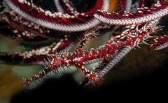 Geisterpfeifenfisch