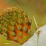 Geklontes Kaktuskind / L'enfant cloné du cactus