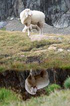 geklontes Schaf?