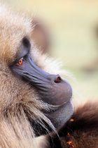 Gelada baboons 3
