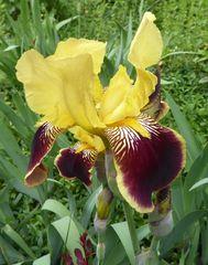 gelb-braune Iris