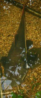 gelb-flossen wels