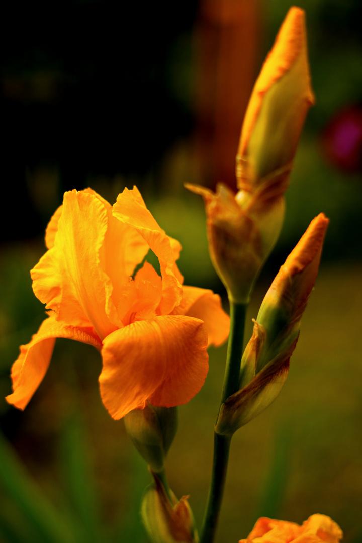 Gelb Iris