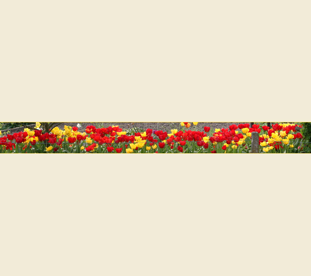 Gelb-roter Tulpenstrip