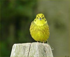 Gelb wie ein Zitrönchen.....der Goldammerhahn.....