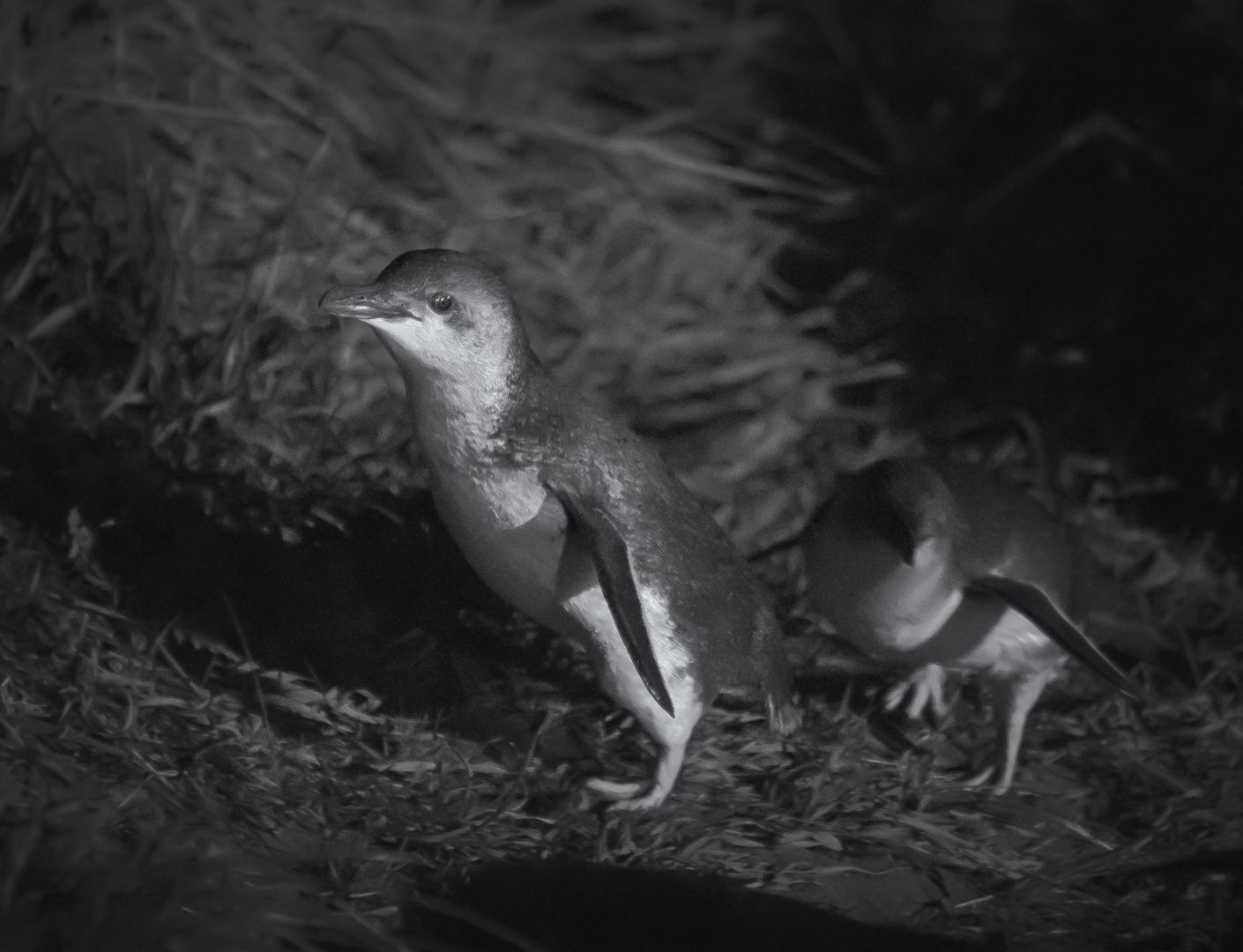 Gelbaugen-Pinguine