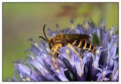 Gelbbindige Furchenbiene (Halictus scabiosae) - Männchen