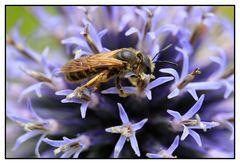Gelbbindige Furchenbiene (Halictus scabiosae) - Weibchen
