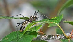 Gelbbindige Schnake (Nephrotoma crocata) - Un genre d'insectes diptères nématocères.