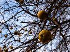 Gelbe Äpfel