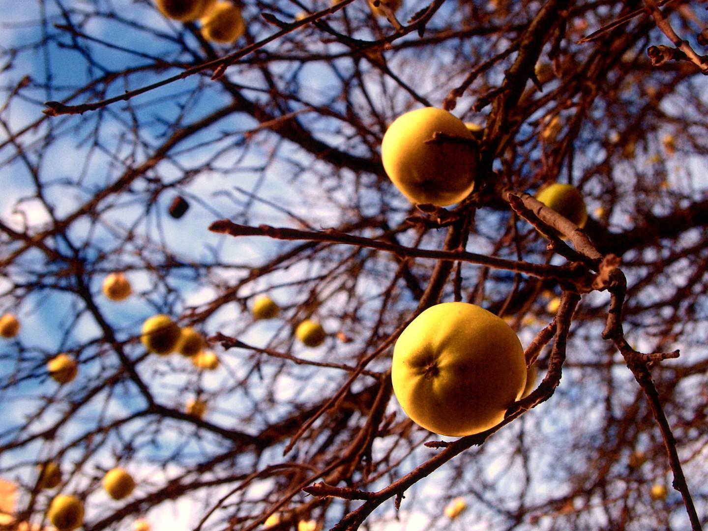 Gelbe Äpfel im Sonnenlicht