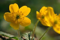 Gelbe-Anemone