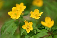 gelbe Anemonen