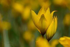 Gelbe Anmut