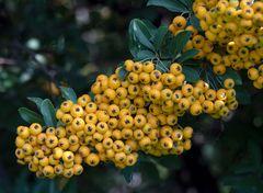 gelbe beerchen